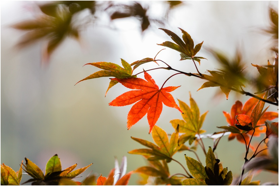 Fall maple leave starting to turn reddish orange in the morning light